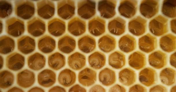 European Honey Bees, apis mellifera, Bee Hive in Normandie, Real Time 4k
