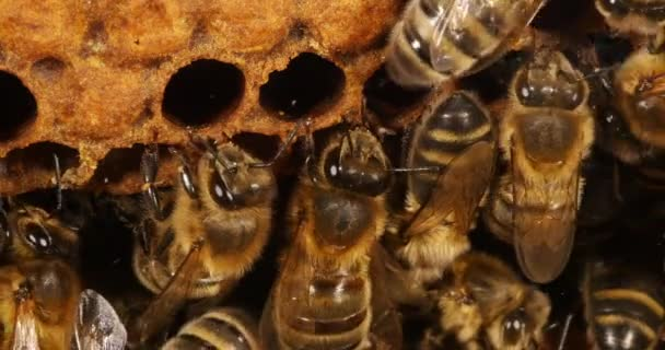 Európai mézelő méh, apis mellifera, fekete méhek az Alveoluson, méhkaptár Normandiában, valós idejű 4k