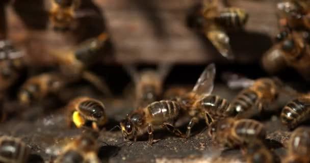 Europäische Honigbienen, apis mellifera, Bienenstock in der Normandie, Echtzeit 4k