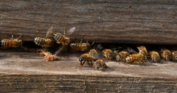 Evropská včela medonosná, apis mellifera, zámotek falešného kroužkovitého červa vypuštěného z úlu čističi, včelí úl v Normandii, v reálném čase 4k