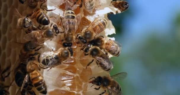 Europäische Honigbiene, apis mellifera, Bienen auf einem Wildstrahl, Bienen auf Alveolen, Bienen beim Nektarlecken, Wildbienenstock in der Normandie, Echtzeit 4k