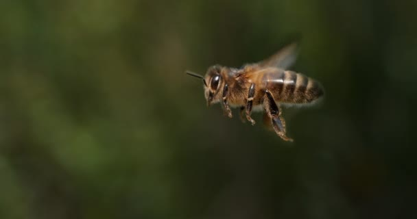 Europäische Honigbiene, apis mellifera, Biene im Flug, Normandie, Zeitlupe 4k