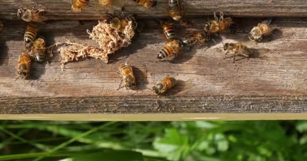 European Honey Bee, apis mellifera, gubó hamis sömör által a kaptárból a tisztítók, Bee Hive Normandiában, Real Time 4k