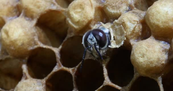 Evropská včela, apis mellifera, včely pasoucí se na vchodu do úlu, včelí úl v Normandii, v reálném čase 4k
