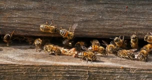 European Honey Bee, apis mellifera, cocoon of false ringworm released from the hive by the cleaners, Bee Hive in Normandy, Real Time 4K