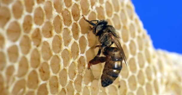 European Honey Bee, apis mellifera, Queen on a Young Wax Ray, Bee Hive in Normandie, Real Time 4k