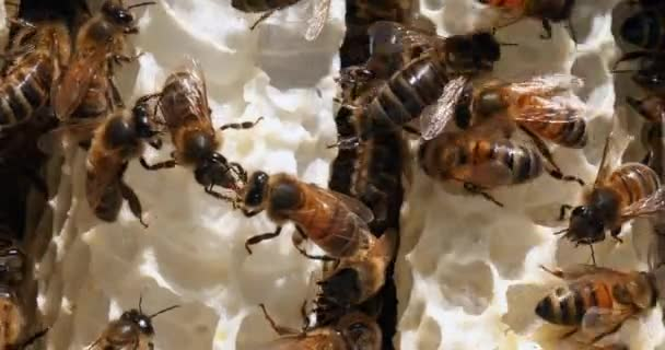 European Honey Bee, apis mellifera, Bees on a wild Ray, Bees working on Alveolus, Wild Bee Hive in Normandie, Real Time 4k