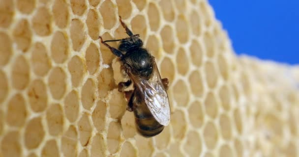 European Honey Bee, apis mellifera, Queen on a Young Wax Ray, Bee Hive in Normandy, Real Time 4K