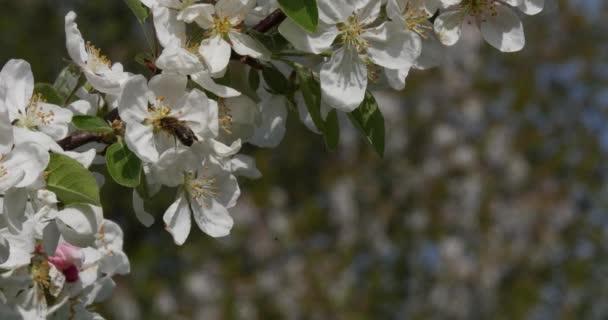 Europäische Honigbiene, apis mellifera, schwarze Biene auf der Suche nach einer Apfelblüte, Bestäubungsakt, Normandie, Spulzeit 4k
