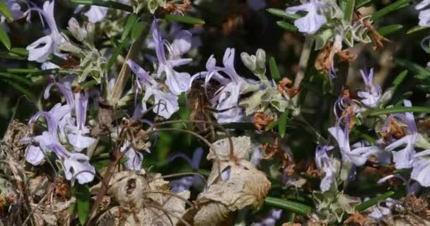 Evropská včela, apis mellifera, včela hledající květinu rozmarýnu, opylovací zákon, Normandie, Real Time 4k