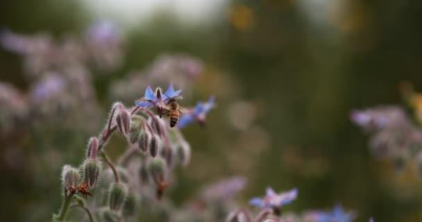 Evropská včela, apis mellifera, včela hledající divoký květ, hmyz v letu, opylovací zákon, Normandie, zpomalení 4k