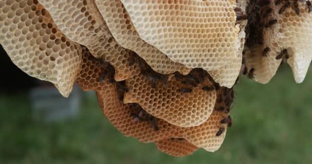 Európai mézelő méhek, apis mellifera, fekete méhek vad sugaron, méhkaptár Normandiában, valós idejű 4k