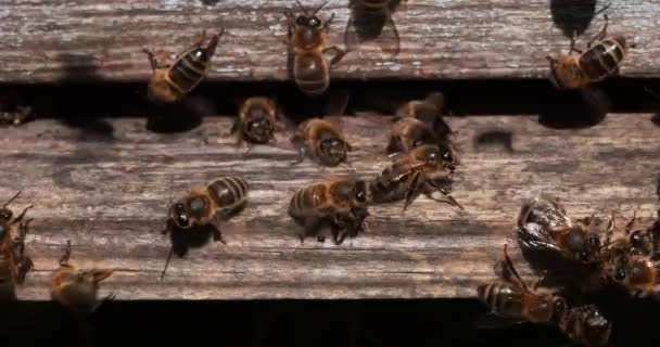 European Honey Bees, apis mellifera, Black Bees at the Entrance of the Hive, Insect in Flight, Bee Hive in Normandie, Real Time 4k
