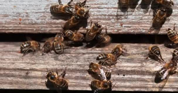 European Honey Bee, apis mellifera, Black Bees at the Entrance of the Hive, Insect in Flight, Bee Hive in Normandy, Real Time 4K