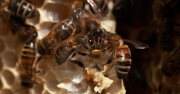 European Honey Bee, Apis mellifera, Bees working on a Wild Ray, Alveolus filled with Honey, Normandie, Reel time 4k