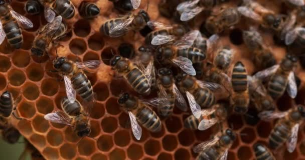 European Honey Bee, Apis mellifera, Bees working on a Wild Ray, Natural Brood, Bee doint ventilace, Normandie, Reel time 4k