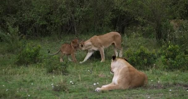 African Lion, panthera leo, Mother and Cub playing, Masai Mara Park in Kenya, Real Time 4K