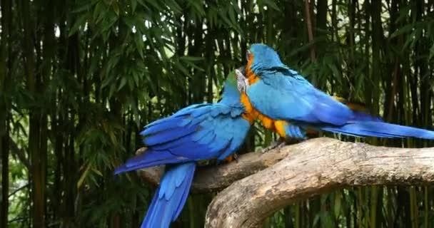 Modro-žluté Macaw, ara ararararauna, párový zobák v zobáku, cívka čas 4k