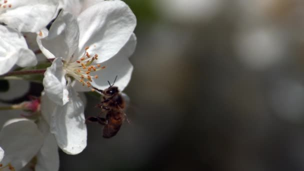 European Honey Bee, apis mellifera, Bee foraging an Apple Flower Pollination Act, Normandy, Reel Time
