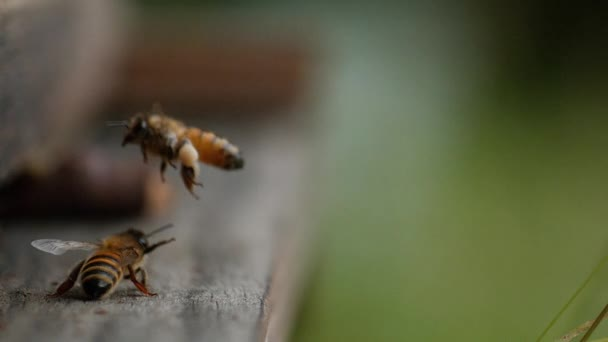 European Honey Bee, apis mellifera, Bee in Flight, Return to the Hive with Balls Loaded with Pollen, Lassú mozgás