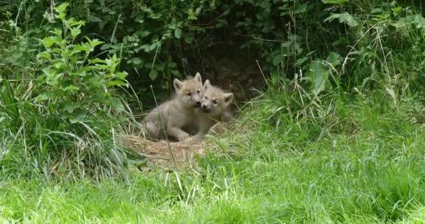 Arctic Wolf, canis lupus tundrarum, Cub hraje poblíž Den Entrance, Real Time 4k
