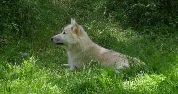 Sarkvidéki farkas, canis lupus tundrarum, Mother lay on Grass, Real Time 4k