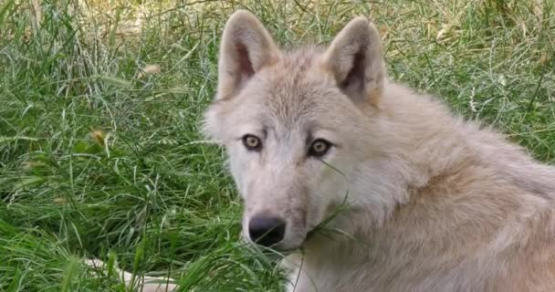 Arctic Wolf, canis lupus tundrarum, Portrait of Female, Real Time 4K
