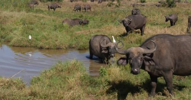 African Buffalo, syncerus caffer, Herd at Waterhole, Nairobi Park in Kenya, Real Time 4K
