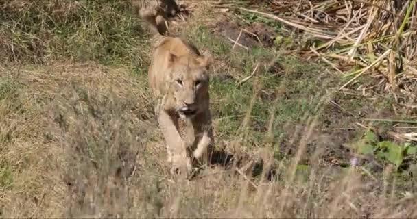 African Lion, panthera leo, Group in Savannah, Nairobi Park in Kenya, Real Time 4k