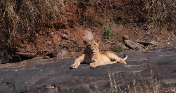 African Lion, panthera leo, Cub standing on Rock, Nairobi Park in Kenya, Real Time 4K
