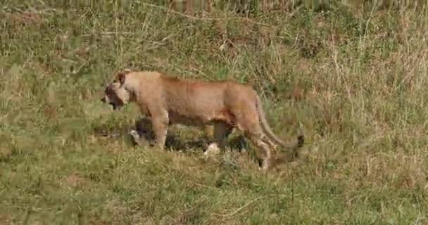 Afrikai oroszlán, Panthera leo, Fiatal Férfi sétál Savannah, Nairobi Park Kenyában, Valós idejű 4k