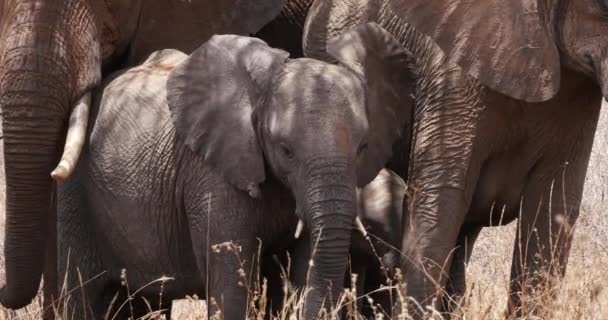 Afrikai elefántok, loxodonta africana, Group in the Bush, Tsavo Park Kenyában, Real Time 4k
