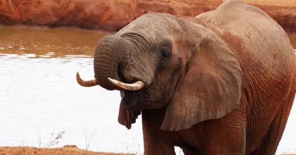 Africký slon, loxodonta africana, Dospělý stojící u vodní díry, Tsavo Park v Keni, Real Time 4k