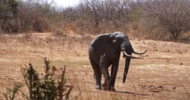 Africký slon, loxodonta africana, a žirafa, žirafa camelopardalis tippelskirchi, Tsavo Park v Keni, Real Time 4k