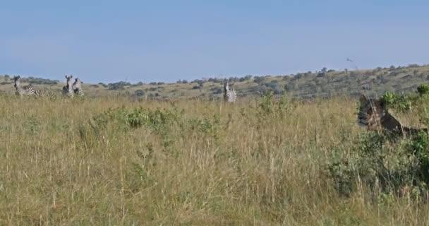 Afrikanischer Löwe, Panthera-Löwe, weibliche Jagd, Herde von Burchell-Zebras, Tsavo-Park in Kenia, Echtzeit 4k
