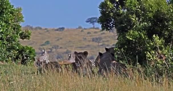 Afrikai oroszlán, Panthera leo, Női vadászat, Burchell Zebras csorda, Tsavo Park Kenyában, Valós idejű 4k