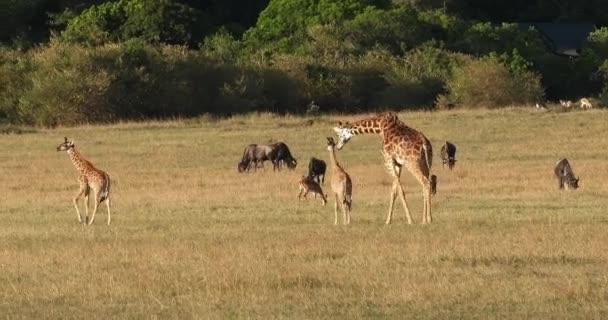 Masai Zsiráf, zsiráf camelopardalis tippelskirchi, anya és borjú sétál Savannah, Blue Wildebeest, Masai Mara Park Kenyában, valós idejű 4k