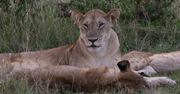 African Lion, panthera leo, Mother and Cubs, Nairobi Park in Kenya, Real Time 4k