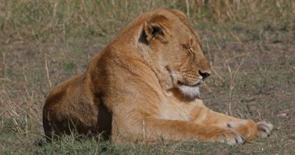 African Lion, panthera leo, Female sleeping, Nairobi Park in Kenya, Real Time 4k