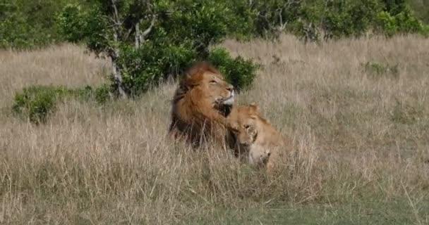 African Lion, panthera leo, Pair Mating, Masai Mara Park in Kenya, Real Time 4K