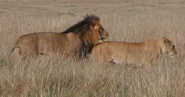 African Lion, panthera leo, páření, Masai Mara Park v Keni, Real Time 4k