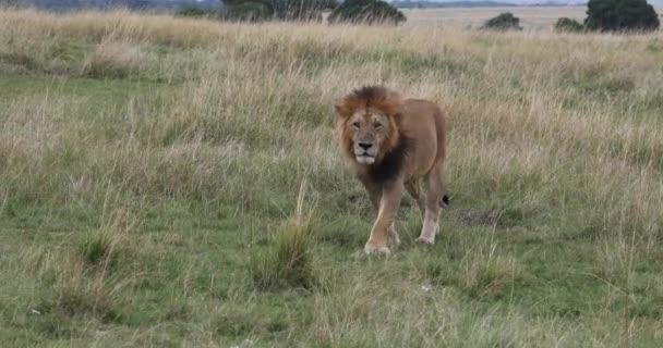 African Lion, panthera leo, Muž procházka Savannah, Nairobi Park v Keni, Real Time 4k