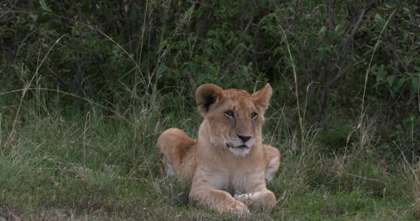 African Lion, panthera leo, Cub laying, Nairobi Park v Keni, Real Time 4k