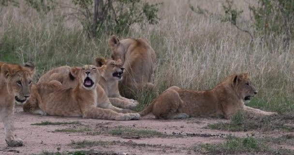 African Lion, panthera leo, Mother and Cubs, Yawning, Nairobi Park v Keni, Real Time 4k
