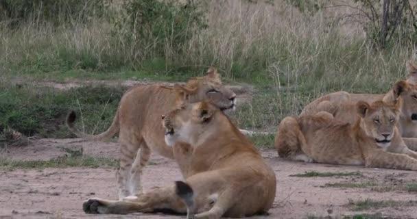 African Lion, panthera leo, Mother and Cub, něha, Nairobi Park v Keni, Real Time 4k