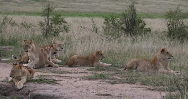 Afrikai oroszlán, Panthera leo, Anya és Cubs, nyújtás, Nairobi Park Kenyában, Real Time 4k