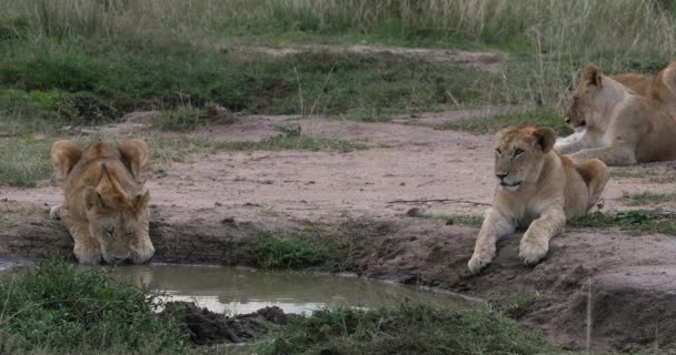 Afrikanischer Löwe, Panthera Leo, Jungtier am Wasserloch, Nairobi Park in Kenia, Echtzeit 4k