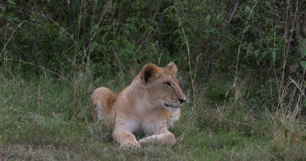 Afrikai oroszlán, Panthera leo, Cub ásítás, Nairobi Park Kenyában, Real Time 4k