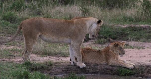 Afrikanischer Löwe, Panthera-Löwe, Mutter und Junges zu Fuß, Nairobi-Park in Kenia, Echtzeit 4k