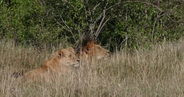 African Lion, panthera leo, Pair standing in Dry grass, Nairobi Park in Kenya, Real Time 4k